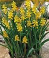 yellow Flower Grape hyacinth Photo and characteristics