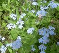 light blue Flower Forget-me-not Photo and characteristics
