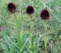burgundy Flower Species Orchid, Black Vanilla Orchid, Black Gymnadenia Photo and characteristics