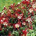 red Flower Columbine flabellata, European columbine Photo and characteristics