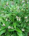 white Flower Comfrey Photo and characteristics
