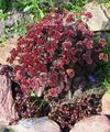 burgundy Flower Stonecrop Photo and characteristics