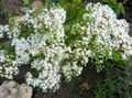 white Flower Stonecrop Photo and characteristics