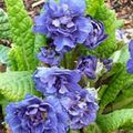blue Flower Primrose Photo and characteristics