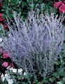 light blue Flower Russian Sage Photo and characteristics
