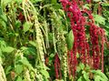 burgundy Flower Amaranthus, Love-Lies-Bleeding, Kiwicha Photo and characteristics