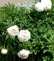 white Flower Peony Photo and characteristics