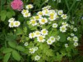 white Flower Painted Daisy, Golden Feather, Golden Feverfew Photo and characteristics