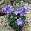 lilac  Balloon Flower, Chinese Bellflower Photo and characteristics