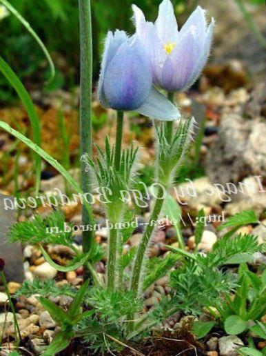Have blomster kobjælde, pulsatilla foto, beskrivelse og egenskaber ...