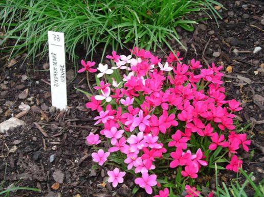 Have blomster rød stjerne, rosenrødt posy, rhodohypoxis foto ...