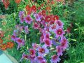 Garden Flowers Painted Tongue, Salpiglossis pink Photo