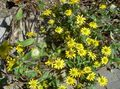 yellow Flower Creeping Zinnia, Sanvitalia Photo and characteristics