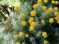 yellow Flower Lavender Cotton, Holy Herb, Ground Cypress, Petite Cypress, Green Santolina Photo and characteristics