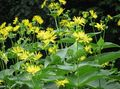 yellow Flower Cup Plant. Rosinweed Photo and characteristics