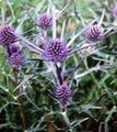lilac Flower Amethyst Sea Holly, Alpine Eryngo, Alpine Sea Holly Photo and characteristics
