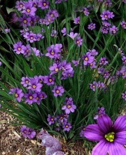 Have blomster stout blåøjede græs, blå Øje græs, sisyrinchium foto ...