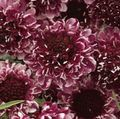 burgundy  Scabiosa, Pincushion Flower Photo and characteristics