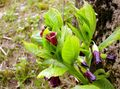 burgundy Flower European Scopolia, Russian Belladonna Photo and characteristics