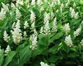 Canada Mayflower, False Lily of the Valley