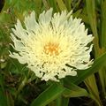 yellow  Cornflower Aster, Stokes Aster Photo and characteristics