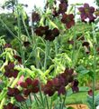 burgundy  Flowering Tobacco Photo and characteristics