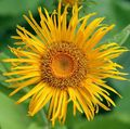 yellow Flower Telekia, Yellow Oxeye, Heartleaf Oxeye Photo and characteristics