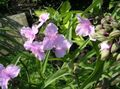 pink Flower Virginia Spiderwort, Lady's Tears Photo and characteristics