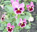 pink Flower Viola, Pansy Photo and characteristics