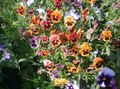 orange Flower Viola, Pansy Photo and characteristics