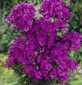purple Flower Garden Phlox Photo and characteristics