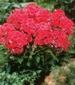 red Flower Garden Phlox Photo and characteristics