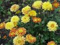 orange Flower Florists Mum, Pot Mum Photo and characteristics