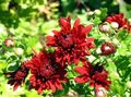 red Flower Florists Mum, Pot Mum Photo and characteristics