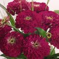 burgundy Flower Zinnia Photo and characteristics