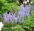 light blue Flower Spanish Bluebell, Wood Hyacinth Photo and characteristics