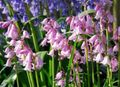 pink Flower Spanish Bluebell, Wood Hyacinth Photo and characteristics