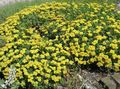 yellow Flower Buckwheat Photo and characteristics