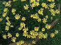 yellow Flower Bush Daisy, Green Euryops Photo and characteristics