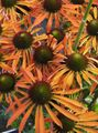 orange  Coneflower, Eastern Coneflower Photo and characteristics