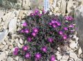 purple Flower Hardy Ice Plant Photo and characteristics
