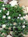 white Flower Hardy Ice Plant Photo and characteristics