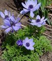 light blue  Crown Windfower, Grecian Windflower, Poppy Anemone Photo and characteristics