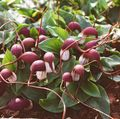 burgundy Flower Mouse Plant, Mousetail Plant Photo and characteristics