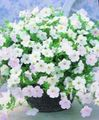 white Flower Petunia Fortunia Photo and characteristics