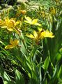 yellow Flower Blackberry Lily, Leopard Lily Photo and characteristics