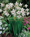 white Flower Abyssinian Gladiolus, Peacock Orchid, Fragrant Gladiolus, Sword Lily Photo and characteristics