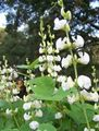white Flower Ruby Glow Hyacinth Bean Photo and characteristics