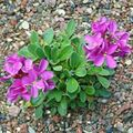 pink Flower Rock cress Photo and characteristics
