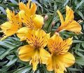 yellow Flower Alstroemeria, Peruvian Lily, Lily of the Incas Photo and characteristics
